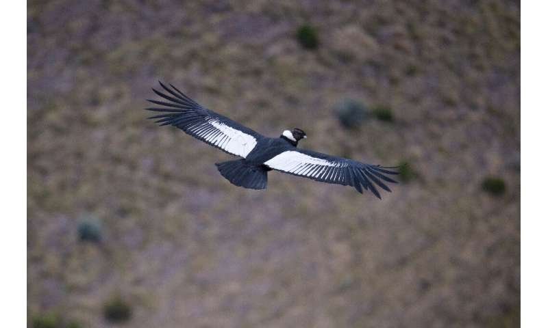 A male Andean condor flies over the Chakana nature reserve in September 2020