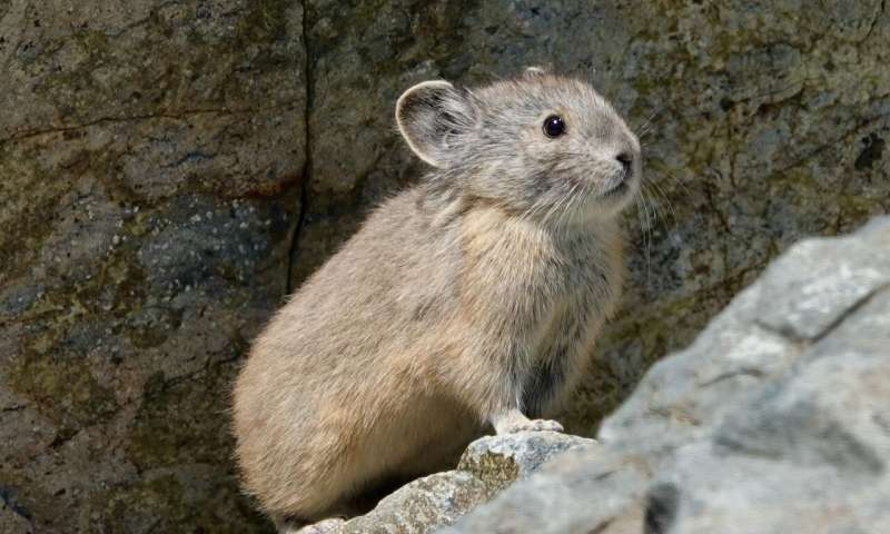 American Pikas show resiliency in the face of global warming