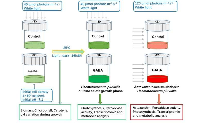 γ-aminobutyric acid boosts astaxanthin production
