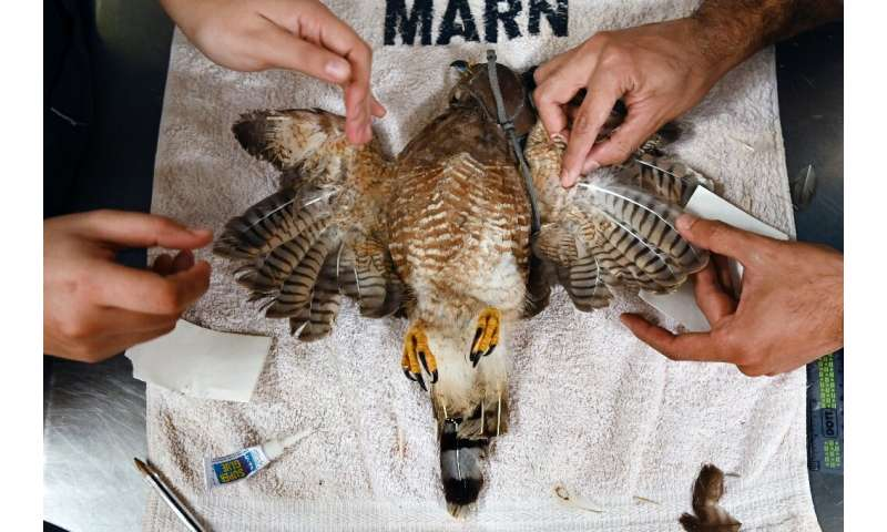 A mutilated roadside hawk lies on an operating table as vets work to graft on a new set of wings