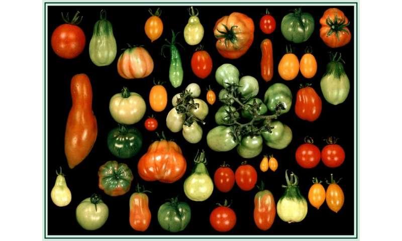 Analysis of wild tomatoes elucidates genetic basis underlying fruit traits