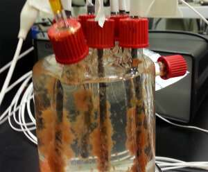 Anammox bacteria allow wastewater to be used for generating electricity