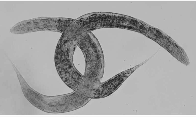 A new model of the worm C. elegans to progress in the study of a rare disease