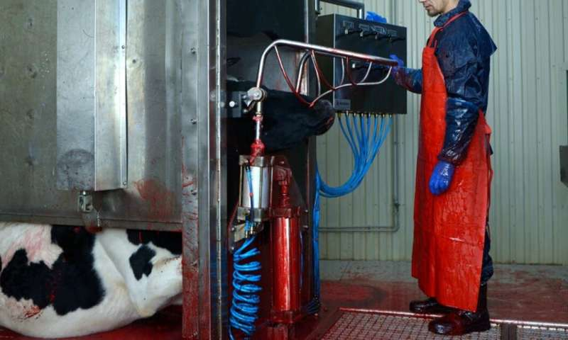 Animals suffer for meat production – and abattoir workers do too