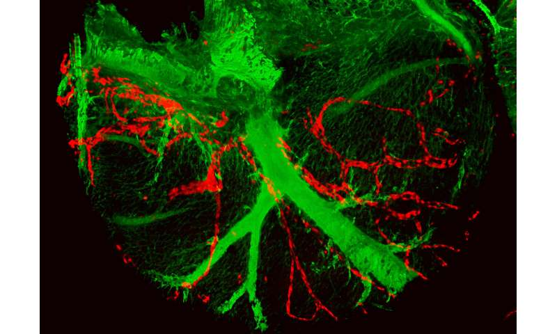 An international study discovers a new origin of lymphatic vessels in the heart