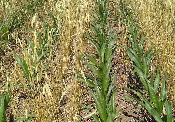 Are cover crops negatively impacting row crops?