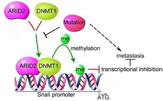 ARID2 Suppresses Hepatocellular Carcinoma Metastasis via DNMT1-Snail Axis