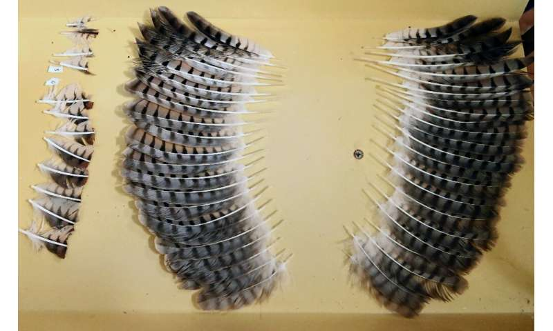 A set of feathers from a dead hawk ready to be grafted on to the wings of a mutilated hawk at an environment ministry veterinary