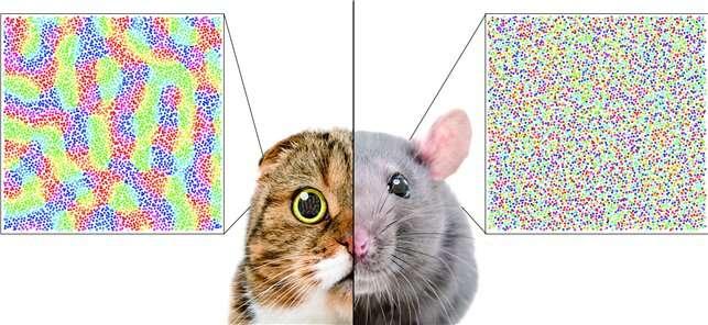 A single biological factor predicts distinct cortical organizations across mammalian species
