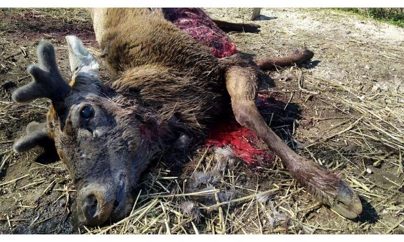 A stag lying near houses in Scanno, Italy, in April after being killed by four wolves