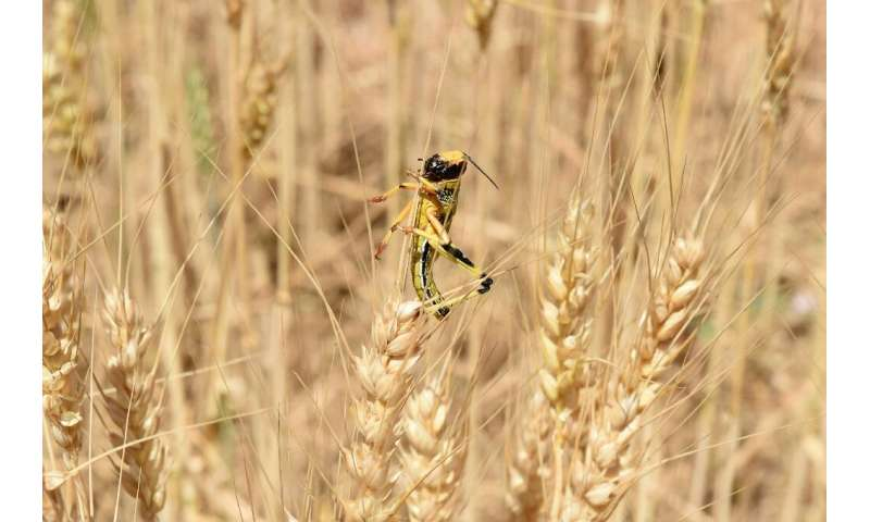 A swarm of 40 million locusts can eat as much food as 35,000 people, according to the UN