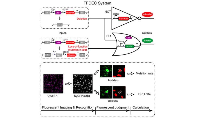 A synthetic genetic circuit to quantify repeat deletion in bacteria