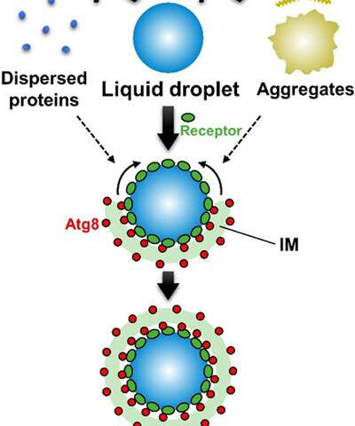 Autophagy degrades liquid droplets, but not aggregates, of proteins
