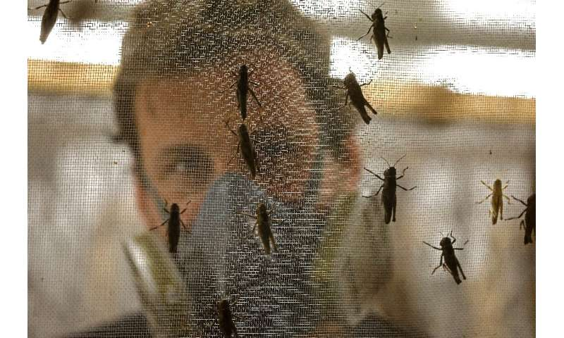 A worker at the Hargol breeding farm looks at locusts in Kidmat Tzvi settlement in the Israeli-annexed Golan Heights
