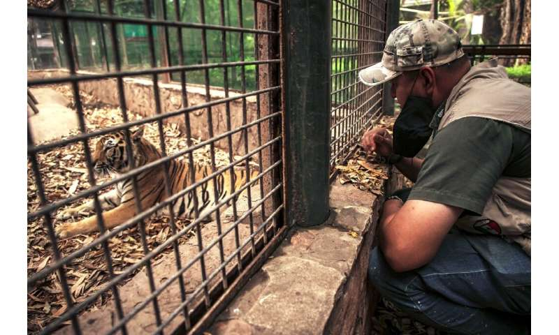 A worker looks at a bengal tiger in Culiacan zoo, Mexico, after it was handed over by its previous owner