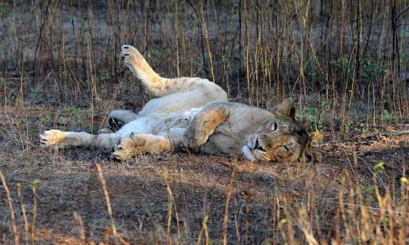 A young Asiatic lion rests after a kill at the Gir Sanctuary in Gujarat, only place they are found in the wild