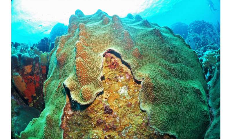 Bacteria fed by algae biochemicals can harm coral health