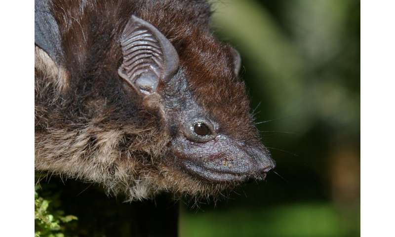 Bats have different song cultures and chatter about food, sleep, sex and other bats