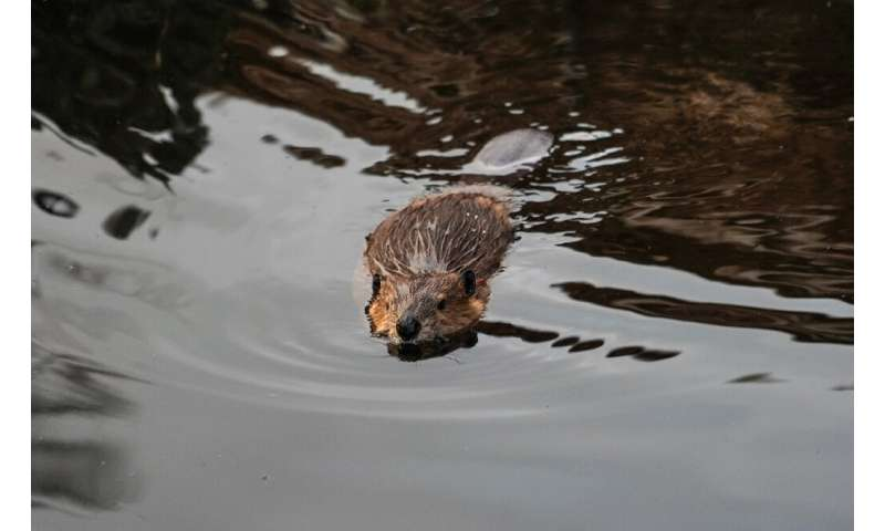 """Beavers have been described as """"nature's engineers"""", whose work can help create wetland habitats to support a range of"""