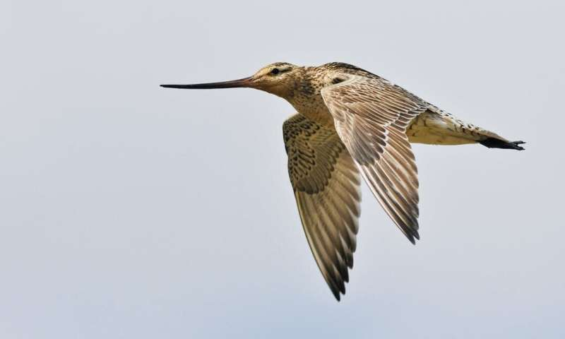 Be still, my beating wings: hunters kill migrating birds on their 10,000km journey to Australia