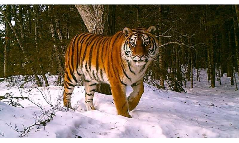 Big cats and small dogs: solving the mystery of canine distemper in wild tigers