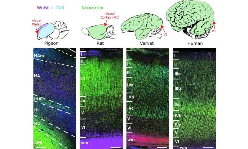 Bird brains are surprisingly complex