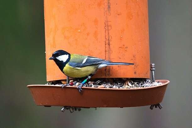 Bird feeding helps females more than males
