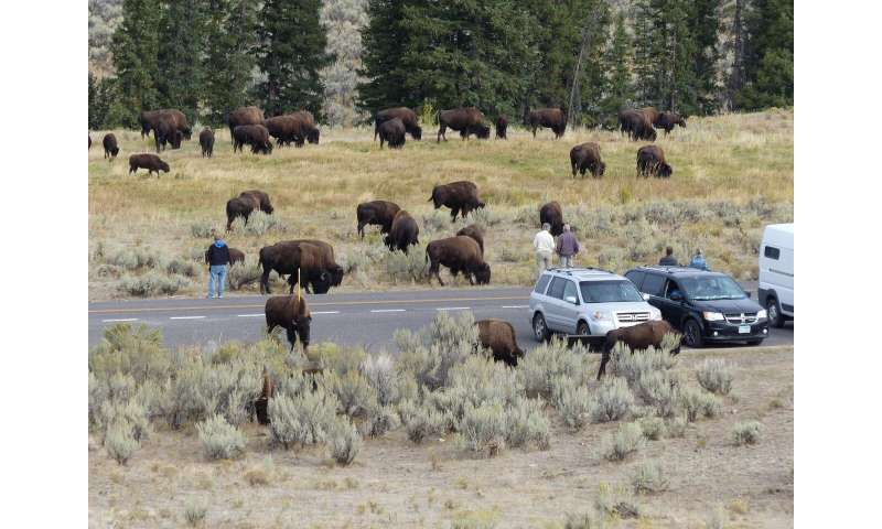 Bison in northern Yellowstone proving to be too much of a good thing