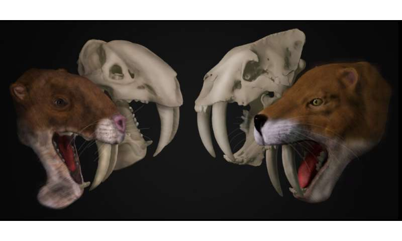 Bizarre saber-tooth predator from South America was no saber-tooth cat