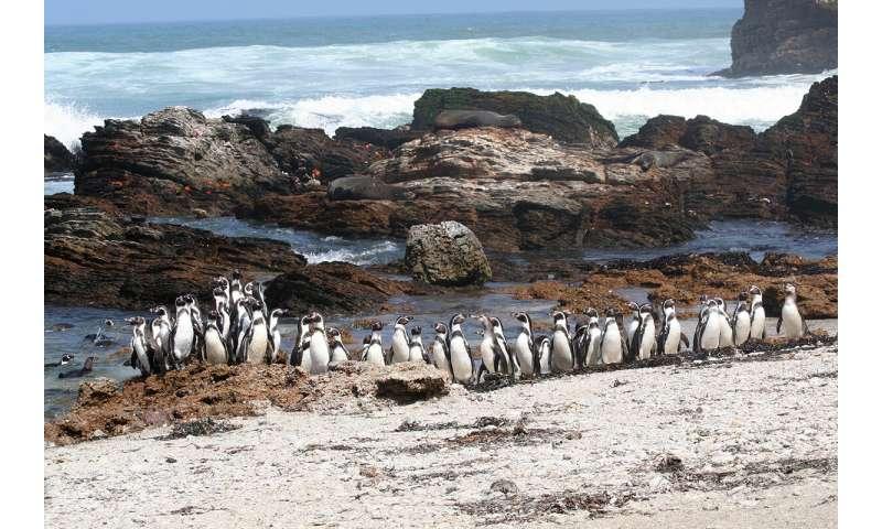 Blood markers predict Humboldt penguin nest type, reproductive success
