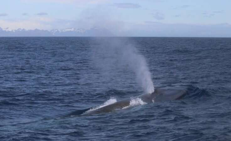 Blue whales return to South Georgia after near extinction