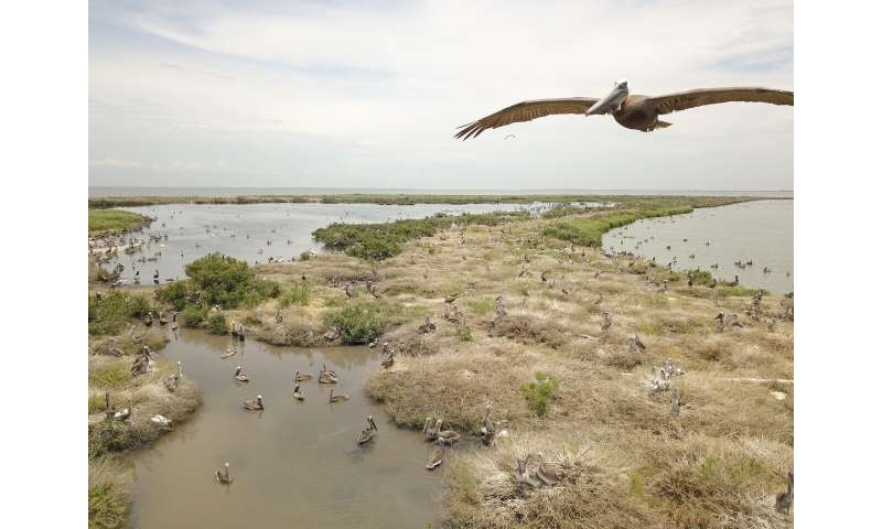BP oil spill cash rebuilds eroded Louisiana pelican island