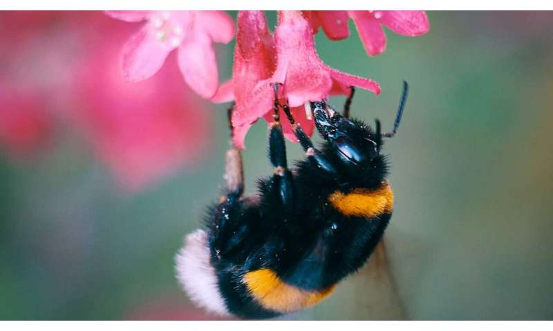 Bumblebee larval growth impaired by insecticide