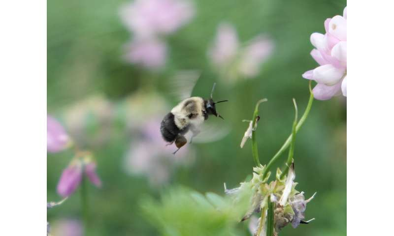 Bumblebees carry heavy loads in economy mode
