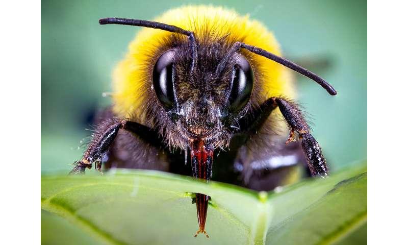 Bumblebees speed up flowering by piercing plants