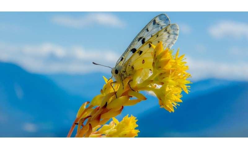 Las mariposas son 'centinelas' del cambio climático en los ecosistemas de montaña, dicen los investigadores