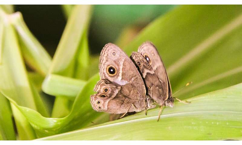 Butterflies can acquire new scent preferences and pass them on to their offspring