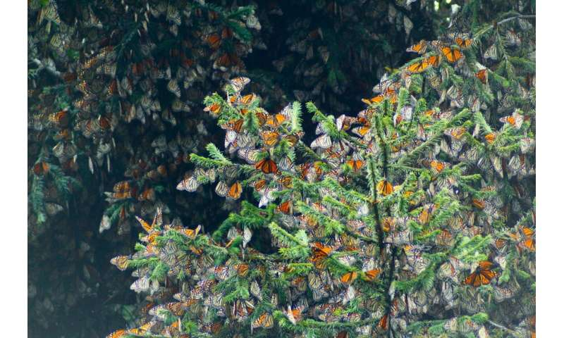 Butterfly genomics: Monarchs migrate and fly differently, but meet up and mate