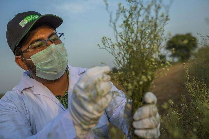 CABI scientists help discover new biological control for noxious parthenium weed in Pakistan