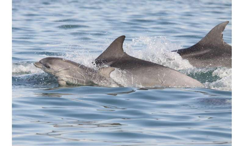 Call of the wild: Individual dolphin calls used to estimate population size and movement