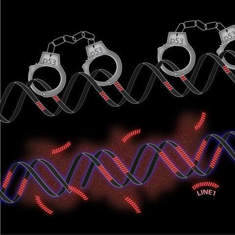 Cancer-fighting gene restrains 'jumping genes'