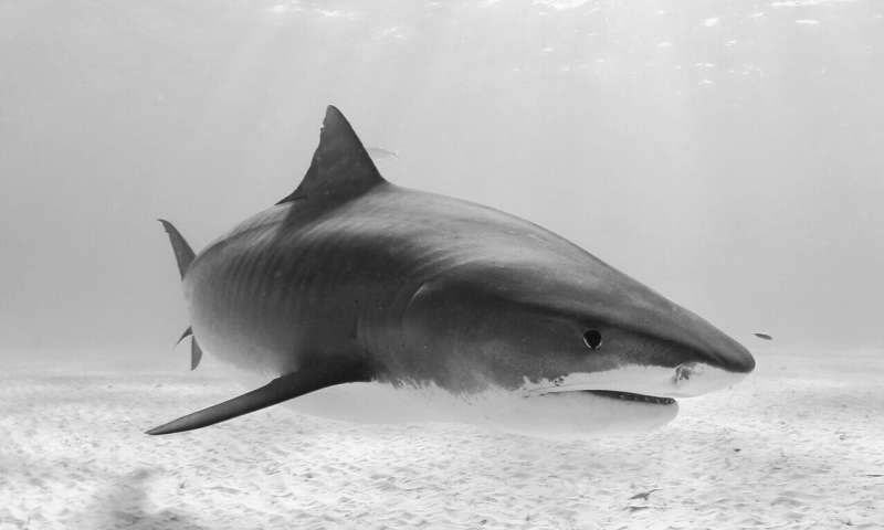 Caribbean sharks in need of large marine protected areas