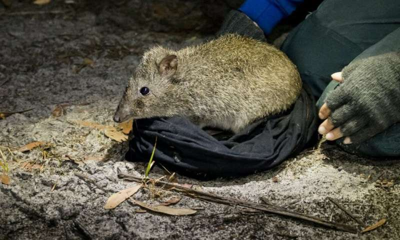 Cats wreak havoc on native wildlife, but we've found one adorable species outsmarting them