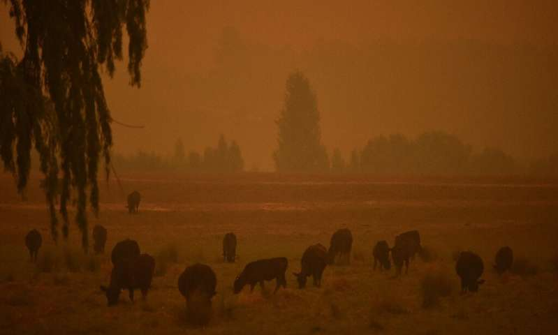 Cattle graze as the sky turns orange from bushfires in southern New South Wales
