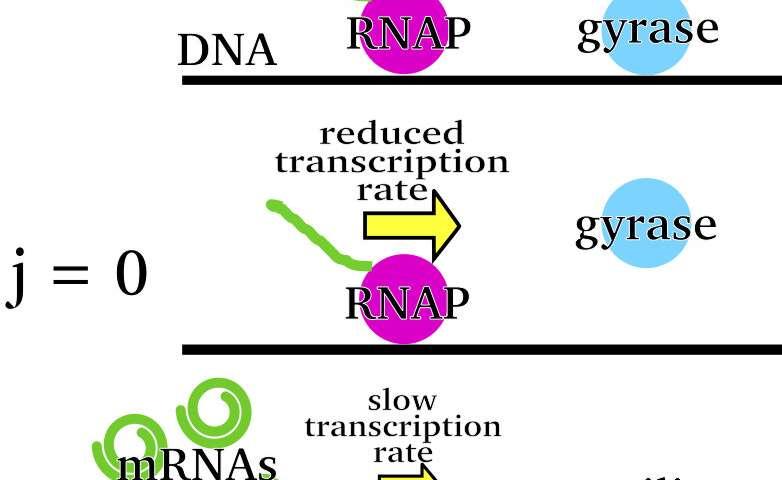 Cells' springy coils pump bursts of RNA