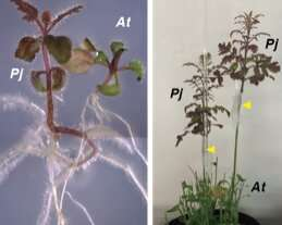 Cell wall degrading enzyme is integral for plant parasitism and cross-species grafting