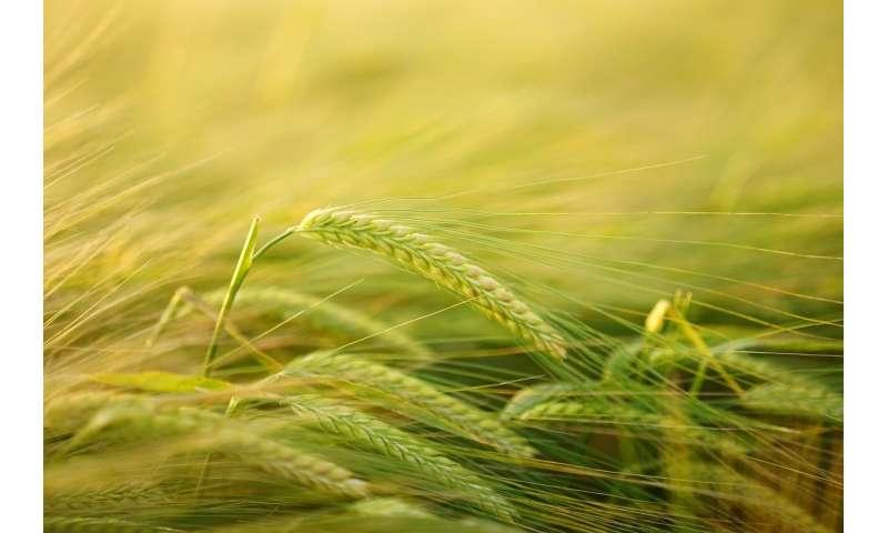 cereal crop