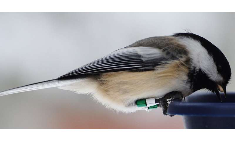 Chickadees slow to return to feeders while predators are nearby