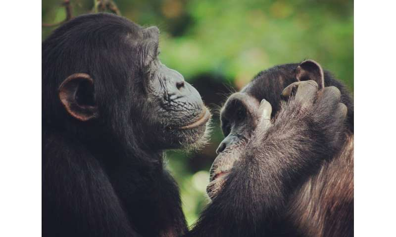 Chimpanzees help trace the evolution of human speech back to ancient ancestors