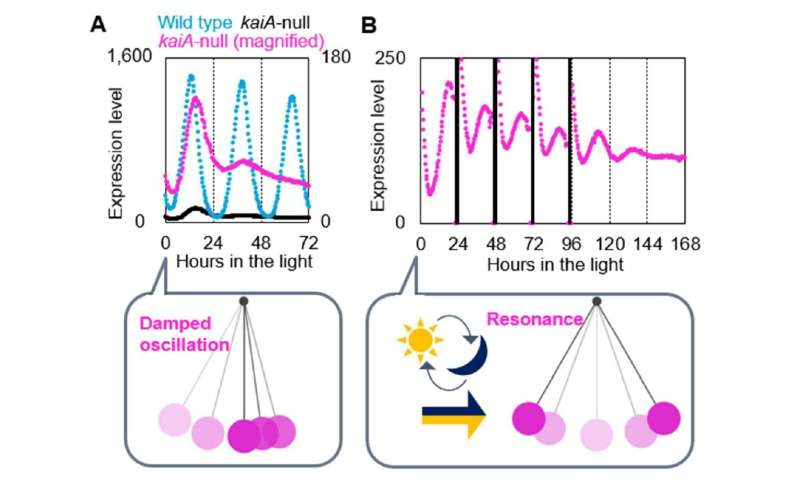 Circadian oscillation of a cyanobacterium doesn't need all three Kai proteins to keep going